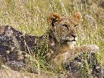 Lions Male Lion Cub Masai Mara Kenya Africa jpg