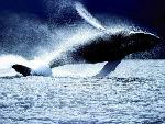 baleines  2 jpg