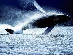 baleines baleines  1 jpg