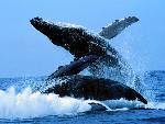 baleines baleines  3 jpg