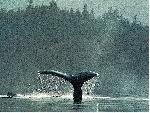 baleines baleines  6 jpg
