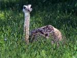 bebe animaux Baby Ostrich jpg