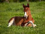 chevaux American Paint Foal, Iowa jpg