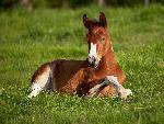 chevaux American Paint Foal Iowa jpg
