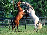 chevaux Andalusians jpg