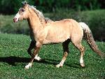 chevaux Bundy, Palomino Quarter Horse jpg