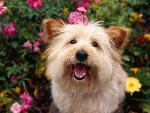 chien 1  Pure Attention Terrier Mix jpg