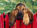 chien 4 Winks Bloodhound Puppy jpg