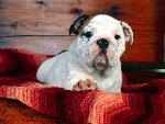 chien A Comfy Drawer Bulldog Puppy jpg