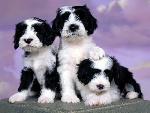 chien Ashlyn Tibetan Terriers jpg