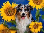 chien Australian Shepherd jpg