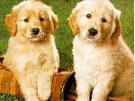 chiens chiens 23 jpg