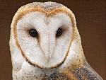chouette Barn Owl jpg