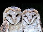 chouette Barn Owlets jpg