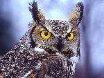 chouette Eagle Owl jpg