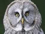 chouette Great Gray Owl Finland jpg