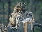 chouette Great Gray Owl With Owlets Idaho jpg