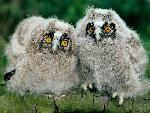 chouette Long Eared Owl Chicks jpg