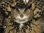 chouette Portrait of an Eagle Owl in Defensive Display jpg