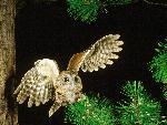 chouette Screech Owl Pennsylvania jpg