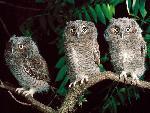 chouette Trio of Screech Owls Pennsylvania jpg