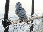 chouette White Winter Owl Rocky Mountains jpg