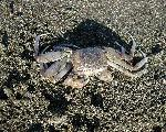 crabe crabs 5 jpg