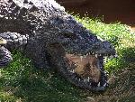 crocodiles crocodile 5 jpg