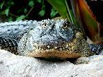 crocodiles crocodile 6 jpg