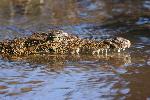 crocodiles crocodile 11 jpg
