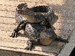 crocodiles crocodile 15 jpg