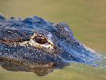 crocodiles crocodile 17 jpg