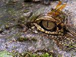 crocodiles crocodile 19 jpg