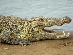 crocodiles crocodile 2 jpg
