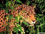 jaguar jaguar panthera  1 jpg