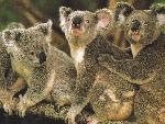 koalas koalas  1 jpg