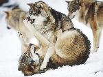 loup Angry Wolves jpg