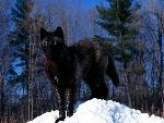 loup Black Wolf in Snow jpg