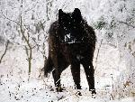 loup Cold Stare Gray Wolf jpg