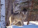 loup Full Profile Gray Wolf jpg