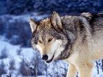 loup Gray Wolf in Snow jpg