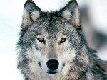 loup Look Into My Eyes Winter Wolf jpg
