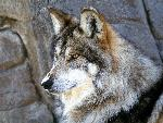loup Mexican Wolf jpg