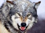 loup Snarling Gray Wolf jpg