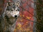 loup The Lookout Gray Wolf jpg