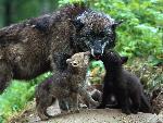 loup Timber Wolves jpg
