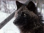 loup Tundra Wolf Alaska jpg