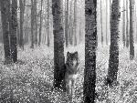 loup Watchful Eyes in the Wild jpg