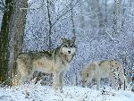 loup Winter Land Wolves jpg