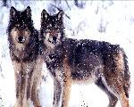 loup wolfs   jpg